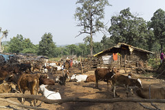 Milkmen (wietsej) Tags: india cows hills milkmen chhattisgarh a6000 maikal sel1670z sonycarlzeissvariotessart1670mmf4zaoss
