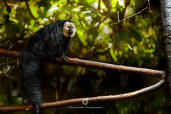 White-faced Saki Monkey (Pithecia epithelia) (fesign) Tags: nature animal horizontal mammal outdoors photography day sitting wildlife nopeople sideview protection primate treebranch maleanimal whitefacedsakimonkey nonurbanscene colourimage pitheciaepithelia