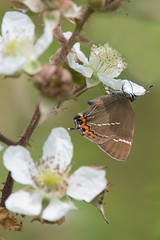 Can't quite reach (Tim Melling) Tags: satyriumwalbum timmelling whiteletter hairstreak butterfly west yorkshire bramble