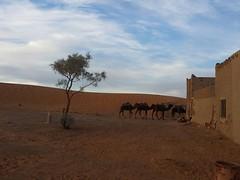 Dromedaries in Merzouga Desert, Morocco - Morocco excursions (Morocco Objectif) Tags: marrakechcameltrekking marrakechquadbiking moroccooffroad moroccoatlanticcoasttour moroccocanyonstrip marrakechguidedcitytours marrakechdaytrips morocccodeserttrips saharatour moroccoatlanticoceantrip moroccoimperialcities moroccoadventuretrip moroccodeserttrips deserttoursfrommarrakech daytripsfrommarrakech moroccocameltrek moroccodeserttours merzouga ergchebbi saharadesert sanddunes morocco moroccoobjectif cameltrek offroad berber nomad moroccodeserttour moroccotour moroccotrip moroccoexcursions excursionsinmorocco marrakechtrips marrakechtours desertsafari privatetoursinmorocco moroccoadventures discovermorocco moroccoadventuretours adventuretravelfrommarrakech moroccooffroadtrips marrakechoffroadtours atlasmountains