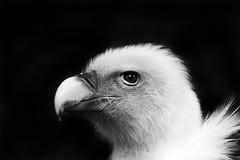 Gnsegeier (michel1276) Tags: zoo duisburg geier gnsegeier vogel bird