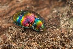 Darkling beetle (Androsus fasciolatus - DSC_9867 (nickybay) Tags: macro singapore chestnutavenue darkling beetle tenebrionidae androsus fasciolatus cnodalonini