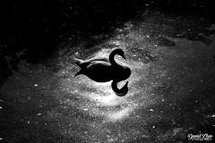 DarkSwan (iamdavidzhao1996) Tags: swan animal animals dark sun sunshine water mirror outside photography photo beautiful hungary black white blackandwhite contrast focus dslr nikon d3300