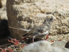 Dark-eyed junco, molting immature (presumably Oregon). Here snacking on an ant. (nareshaweb) Tags: california places wildlife birds inyonf inyocounty