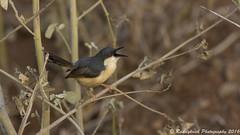 Ashy Pirnia (Raddykrish Photography) Tags: ashypirnia pirnia coimbatore tamilnadu indiatrip2016 india indianbirds bird birds nature naturephotography wildlife wildlifephotography singing call