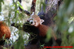 Canberra Zoo - Red panda (Firefox) (soyouz) Tags: aus australiancapitalterritory australie curtin geo:lat=3530067600 geo:lon=14906943100 geotagged animals pandaroux canberra australiel