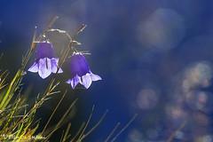 Campanula dei ghiaioni (elio de stefani.) Tags: campanuladeighiaioni fioridimontagna fioriselvatici parconaturaleadamellobrenta eliodestefani natura campanule fdiorispontanei montagna