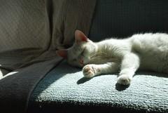 Charlie (rootcrop54) Tags: dramaticlighting charlie white allwhite male cat light shadows window sleeping sofa macska kedi  koka kissa  kttur kucing gatto  kais kat katt katzen kot  maka maek gorbe kitteh chat  weekend tgif