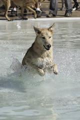 IMG_9422 (kris10pix) Tags: dogpaddle2016 dogs puppies puppy splash pool fetch dog wisconsin capitolk9s mutts purebreed leap madisonwi goodmanspool wetdog summer