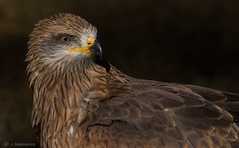 Schwarzer Milan (claudialohmanns) Tags: wildpark greifvogel milan schwarzer