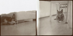 Sepia Charlie and Lucie Diptych (LeandroF) Tags: polaroidweek2016 polaroidweek dogs charlie lucie diptych hasselblad500cm hasselblad expired instant instantfilm type100 peelapart sepia1500 polaroid driedpods warm sepia square littledoglaughednoiret