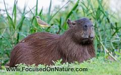 Cattle Tyrant (FocusedOnNature.com) Tags: hotelpantanalnorte cattletyrant capybara brazil pantanal