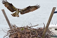 Osprey by Nicki Sener (AccessDNR) Tags: 2016 photocontest birds summer osprey nest fly soar tilghmancreek tabotcounty