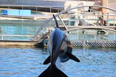 IMG_6845 (Bebelouga) Tags: orque marineland killerwhale orca