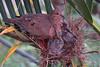 Zenaida auriculata (Wilmer Quiceno) Tags: zenaidaauriculata eareddove torcaza paloma columbidae nest nido medellin aves birds birding