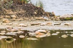 Grand grave lot (juvenile) (denis.loyaux) Tags: france arige nikkor ringed ploverdomaine des oiseaux grandgravelot charadriushiaticula commonringedplover charadriiformes charadriids domainedesoiseaux mazres midipyrnnes nikond5 nikkor200500f56 grand gravelot