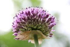 Bloom (Jane Inman Stormer) Tags: plant flower green bulb stem blossom grow petal cannon tall allium stalk purble