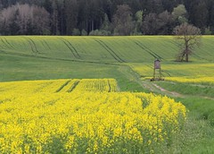 (:Linda:) Tags: germany village thuringia yellowflower canola rapeseed furrow brden huntersperch