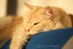 sleepy (photos4dreams) Tags: red rot female cat ginger photo photos pics fluffy mainecoon katze chilli photos4dreams photos4dreamz p4d misschillipepper chilli29092013p4d sundaysbestp4d