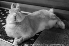 IMG_6683-1-2 (Rabbit's Album) Tags: pet cute rabbit bunny animals coco    netherlanddwarf    canonx7i x7i efs24mmf28stm