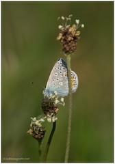 (KirstenDeLaet) Tags: flowers ex nature butterfly spring belgium pentax natur may belgi natuur sigma mai mf mei lente bloemen schmetterlinge frhling vlinder belgien k3 2015 blmen apodg 2870200mm hsmii kirstendelaet