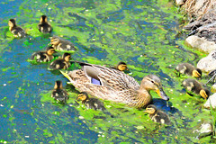 2015 May 03 Mallard Duck and Ducklings 9062 (digitalmarbles) Tags: canada cute bird nature water animal swimming pond bc fuzzy eating britishcolumbia wildlife ducklings chicks mallard sanctuary birder anasplatyrhynchos reifel lowermainland foraging reifelbirdsanctuary birdphotography deltabc wildlifephotography birdphoto