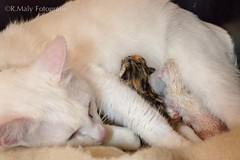 Motherhood (Ren Maly) Tags: cat kitten kat feline poes renmaly