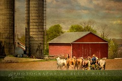 lunch time (betty wiley) Tags: horses texture barn rural ana countryside farm country farming amish lancaster silos farmer bettywileyphotography lenabaum