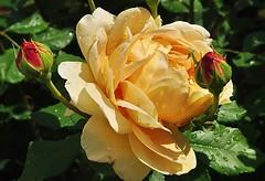 Rose Golden Celebration (mamietherese1) Tags: world100f earthmarvels50earthfaves phvalue fleursetpaysages
