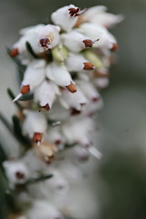 Overcast (Elisabeth Rose Astwood) Tags: abstract flower macro green nature water leaves waterdrop bokeh overcast needle grasp macrodreams