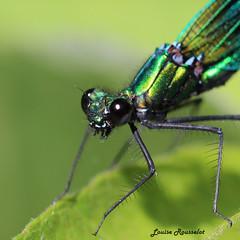 Libellule (LouRousselot) Tags: macro nature yeux couleur transparence insecte libellule feuille ailes tourbire mandibules herretang