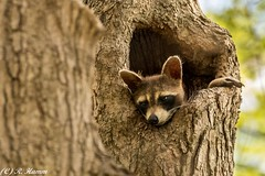 Whatcha doin' down there? (Ronda Hamm) Tags: tree nature animal canon mammal outdoors dof indianapolis wildlife raccoon bandit knothole eaglecreek hairlight 7dmarkii 100400mkii