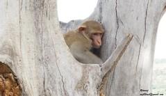 Monkey Mum (Raj Says) Tags: flickr rituraj flickrduel rajsays riturajmeena flickrrajsays