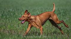 Come On Faster (Steven Peachey) Tags: dog pet animal canon exercise working vizsla running farmland workingdog hungarianvizsla tamron70300mm lightroom5 canon7dmarkii stevenpeachey
