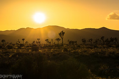 Golden hour in Joshua Tree National Park (Bryan_Xavier) Tags: california trees sunset u2 rocks desert joshuatree socal goldenhour joshuatreenationalpark