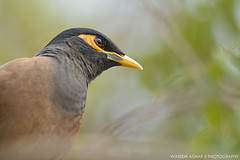Reflecting Mynah (Falcon EyE) Tags: wild bird animal eyes dof bokeh outdoor birding jeddah saudiarabia ksa acridotherestristis commonmynah 300f28