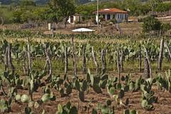 Paisagem do semi rido (brasildagente) Tags: paisagem eds palma prefs gado semirido pastagem