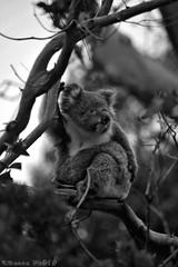 A good scratch (boze610 [ free tibet ] [in giro per il mondo]) Tags: wild blackandwhite bw tree cute nature natural wildlife fluffy naturallight australia natura koala wildanimal scratch albero biancoenero koalabear naturalmente greatphotographers wildlifeofaustralia groccaphoto