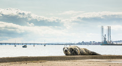 Grey seal taking in the views (Chris B70D) Tags: city bridge chris sun cute water ferry skyline canon river photography grey dundee wildlife bridges chillin tay coastal seal esplanade oil bathing broughty rigs 70d berridge vews