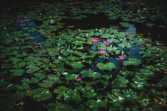 #Lotus (David C W Wang) Tags: pool lotus taiwan 台灣 chiayi 嘉義 grean 蓮花 池 sigma50mm 戶外 綠葉 檜意森活村 sonya7ii