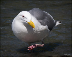 seagull heading my way (marneejill) Tags: pink red white eye feet water yellow closeup walking bc looking seagull beak victoria dot contact curious toenails webbed