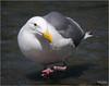 seagull heading my way (marneejill) Tags: pink red white eye feet water yellow closeup walking bc looking seagull beak victoria dot contact curious toenails webbed