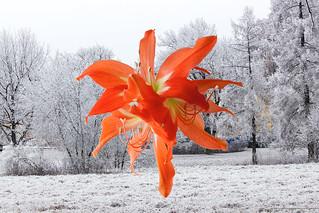 Амариллис. Colour and  snow 3.