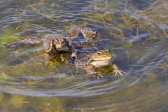 2016-05-06 - 15.40.44 - _L5B2325 - 1 (Rossell' Art) Tags: pad frog toad sapo rana frosch grenouille kikker rano bufo r krte crapaud  rospo doodebemde batracien