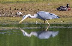 Heron-1 (worlknut) Tags: heron birds wildlife flash pennington songbirds