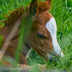 Sleepy Foal. (nondesigner59) Tags: portrait horse sleepy equine foal nondesigner nd59 copyrightmmee eos7dmkii