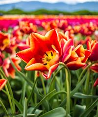 tulip (discreet*(:[ )) Tags: red portrait plant flower field canon photography photo dof mark ii tulip 7d 24mm depth f28 discreet