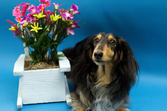 Here you go, Blue Steel again! (ChrisM 75) Tags: flowers dogs spring bluesteel dashchund minidashchund spring2016