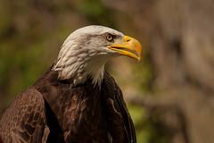 bald eagle profile (jimmy_racoon) Tags: 70200 f4l is canon 5d mk2 birds prey wildlifebald eagle nature raptor 70200f4lis canon5dmk2 birdsofprey