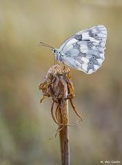 El rigor del verano (gatomotero) Tags: mariposa nature field macro blanca butterfly calor verano sequedad hot macrophotography macrofield mzuiko60 olympusomdem1 autofocusstack summer
